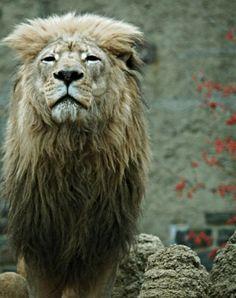 Amazing Wildlife Lion Photography