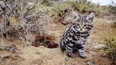 Black-footed cats (Felis nigripes) are Africa's smallest cat, and the deadliest of the entire cat family - with a 60% hunting success rate. Anything that moves is a potential meal, from locusts to birds and gerbils. BBC One - Big Cats - Meet the cats