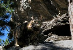 Furry Purry Goes Bobcat: This #adventurecat, Furry Purry, likes to go on slow and exploratory hikes. #cats #hiking