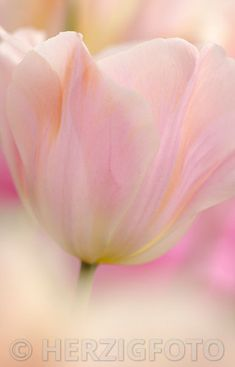 "Tulipa ""Peach Flame"""