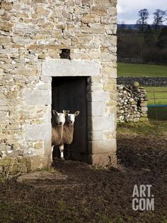 Two Sheep in a Field Barn Near Aysgarth, Yorkshire Dales, England, United Kingdom, Europe Photographic Print by Mark Sunderland at Art.co.uk