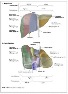 WK 3     Medical Textbook in The Net: Liver Anatomy Visceral aspect of the Liver:  the posteroinferior surface of the liver that faces adjacent abdominal organs; the porta hepatis and gallbladder are located on this surface.