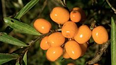 Sea Buckthorn's Skin and Health Benefits