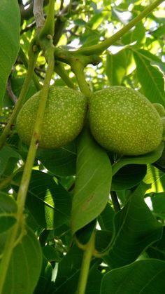 Zelené ořechy na sladko-kyselo | | Bylinky pro radost Kimchi, Vodka, Pear, Spices, Lime, Herbs, Canning, Fruit, Food