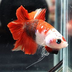 RARE!! Live Betta Fish Male Fancy RED KOI GALAXY Double Tail DT