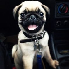 smiling pugs are the best