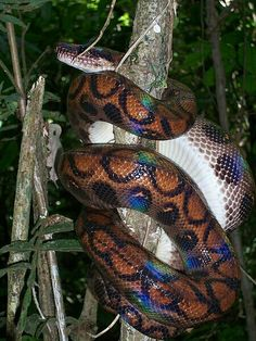 Argentine rainbow boas (Epicrates Cenchria) are considered to be one of the more beautiful snakes in the world Cool Snakes, Colorful Snakes, Geckos, Brazilian Rainbow Boa, Structural Color, Sea Snake, Largest Snake, Beautiful Snakes, Boas