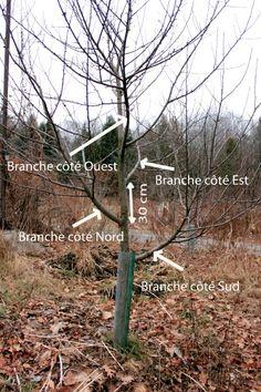 Prunier mirabelle de nancy en taille en vert de formation la taille des arbres fruitiers - Quand tailler un prunier ...
