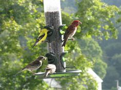 Gold finches and Purple Finches at the bird feeder, Londonderry Inn Vermont