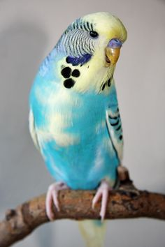 65 HQ Quality Cute Budgie Photos
