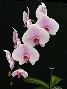 orchid.