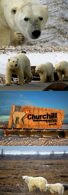 Polar Bears In My Window - A travel story based in Churchill, Manitoba Canada