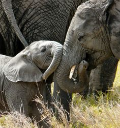 Goessling elephant and baby how sweet!