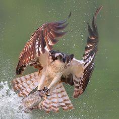 """魚鷹 Osprey.If that fish could speak it would be saying """"oh SH*****************T-!!!!!!"""""""