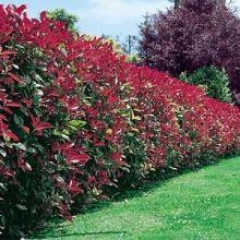 Red Robin beautiful hedging plants,tree or shrub Hedging Plants, Garden Shrubs, Fence Plants, Fence Landscaping, Backyard Fences, Arborvitae Landscaping, Yard Fencing, Gabion Fence, Concrete Fence