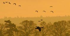 Bandos de gansos voam ao amanhecer ao longo da costa The Wash perto de…