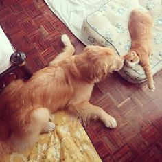 A tiny ginger kitten with an injured tail was found by a kind-hearted man in Thailand. He took the kitten home so he would have a chance at a better life. From day one, the man's Golden Retriever Dog volunteered to be the kitten's surrogate mom.Meet Honey the cat and Mamiao the Golden Retriever! ...