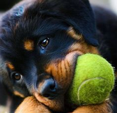 I love chewing on tennis balls...