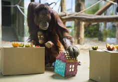 Nyíregyháza-Sóstó Zoo - Ruti (Bornean Orangutan) had become 2 year old (15th March) with gingerbread house and designed fruits. Photo: Balázs Attila / MTI