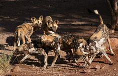 Photo about Pack of African Wild Dogs. Image of wild, savanna, lion - 375248 African Wild Dog, Wild Dogs, Predator, Camel, Lion, Royalty Free Stock Photos, Iphone, Animals, Design