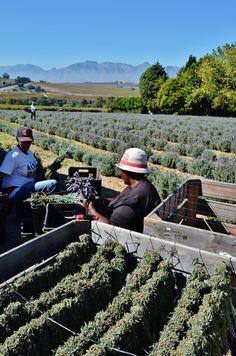 Harvesting lavender in the Stellenbosch region - preparing the flowers to be hang dried in bunches. #stellenbosch #lavender #flowers #driedflowers #flowerbunches #harvesting