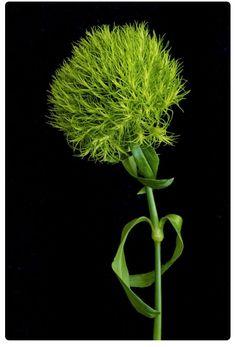 Green trick - Dianthus Barbatus Temarisou