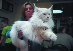 Breed Largest Maine Coon Cat | Originally the breed Maine Coon absented only those individuals who ...
