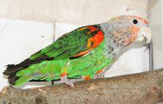 Cape parrot (Poicephalus robustus fuscicollis)