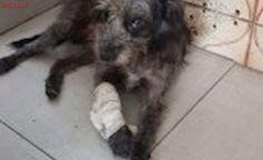 Poodle abandonado e maltratado precisa de resgate, em SP