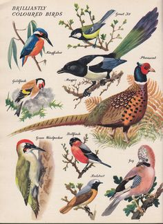 Vogel Illustration, Gravure Illustration, Botanical Illustration, Bird Poster, Poster Print, Bird Identification, Backyard Birds, Vintage Birds, Wildlife Art