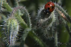 Ladybug.. - A Lady bug on spring blossoms in my garden