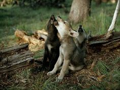 We don't need a moon to practice howling - Wolf Puppies