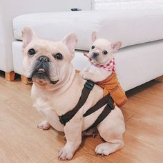 It's a beautiful Wednesday - 🐶 Are you one of the pug lovers or french bulldog lovers? 🐶 If you do, then our online store - Cãezinhos Bulldog, French Bulldog Puppies, Cute Dogs And Puppies, Baby Dogs, Frenchie Puppies, Shitzu Puppies, Baby Bulldogs, Doggies, Teacup French Bulldogs