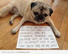 """""""I ate an entire batch of chocolate cookies, had my stomach pumped, and skipped out of the ER at midnight like it was the best day of my life!"""" #pugshaming"""