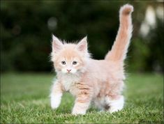 cat breeds with blue eyes | Cute Cats Pictures