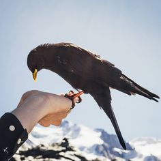 The Alpendohle, or Alpine chough, the guardian of the Swiss Alps. Zermatt, Swiss Alps, Bald Eagle, Switzerland, Battle, Meet, Friends, Instagram, Amigos