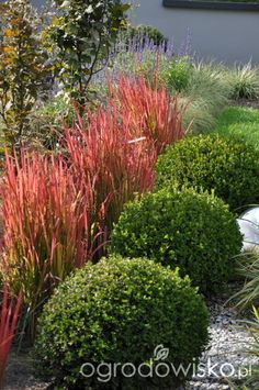 Great contrast - Japanese blood grass and boxwood Front Garden Landscape, Landscape Curbing, Landscape Design, Garden Design, Modern Landscaping, Front Yard Landscaping, Back Gardens, Outdoor Gardens, Pot Plante