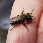 Blue Orchard Mason Bees are one of the first to emerge in the spring.