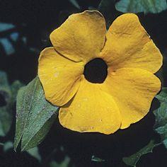 Black-eyed Susan vine. Latin name: Thunbergia alata. Zones 10-11. Learn more here http://www.finegardening.com/plantguide/thunbergia-alata-black-eyed-susan-vine.aspx