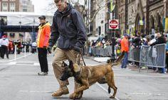 Not a shepherd, but a hero nonetheless. A boston bomb sniffing Malinois :)