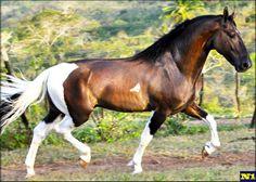 Campolina stallion Fantoche do Momento