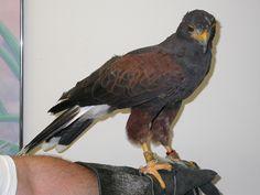 Hawk - Harris Raptors, Bald Eagle, Birds, Animals, Animaux, Bird, Animal, Animales, Animais