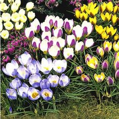 Dipladenia Pflege Und überwintern | Garten | Pinterest Hinweise Krokus Pflanzen Rasen Blumentopf