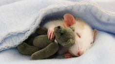 23 adorable photos that will change the way you think about rats