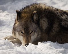 Gray Wolf in Snow Photo - 8x10 Color Wild Animal Photography Print - Wolf Art Intense Eyes Stare