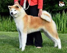 KANAHIME GO Fuen No Oka  Japanese Akita inu female  www.fuennooka.pl