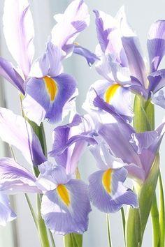 These Dutch iris sparkle in the sun.