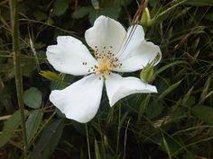 Wild Rose o Rosa Silvestre, la alegría de vivir , www.alifcosmetic.com