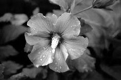 Τhe rose of Sharon by Sofia Kioroglou