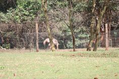 Kenyan wildlife: giraffe